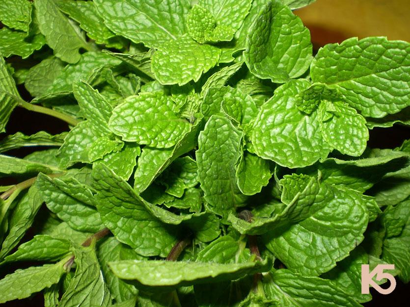 Chất flavonoid trong húng quế có tác dụng trị vết nám